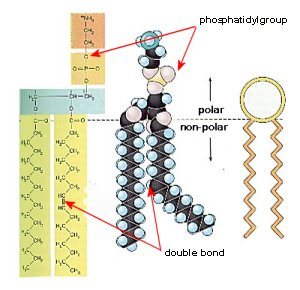 Kasra 20Manoocheri 20Organelles 20Project additionally Membranes as well CELL MEMBRANE   Diagrams also Subcellular Architecture of the Eukaryotic Cell as well Diagram Of A Lipids. on phospholipid cell membrane diagram